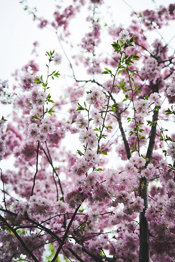 8540-Kirschbluete.jpg